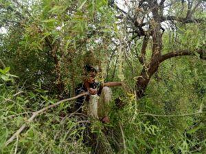 Peelu Tree